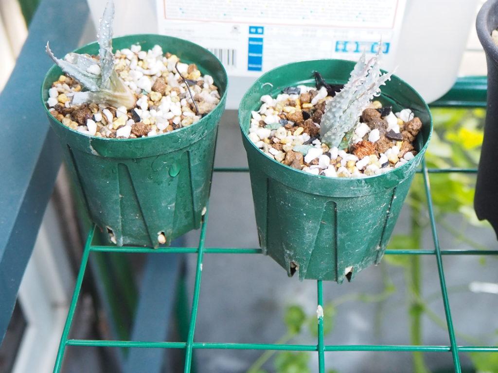 DAISO(ダイソー)で買える多肉植物関連用品・園芸用品 バーベキュー網